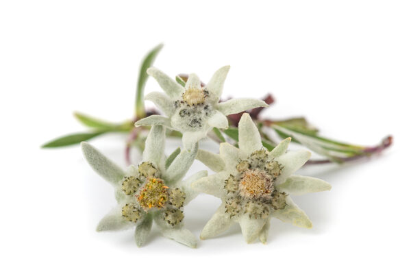 edelweiss flowers private label skin care